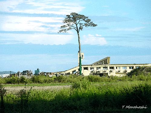「奇跡の一本松」の保存募金にご協力を(お願い) 樹齢300年の赤松... 「奇跡の一本松」の保存